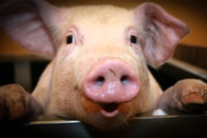 SPOTLIGHT: Collaboration brings new insights into 'Livestock Associated' MRSA in pigs in the USA