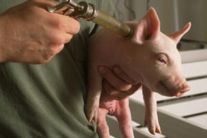 National Hog Farmer Encourages Needlestick Prevention