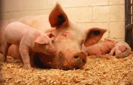 SPOTLIGHT: This Little (or Big) Piggy…Moving and Keeping Pigs and People Safe