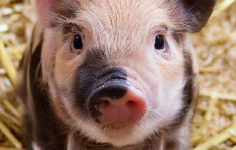 SPOTLIGHT: CDC Guidelines for Pigs and Fairs
