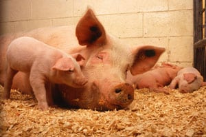 Animal Handling Training Guides: Swine Image