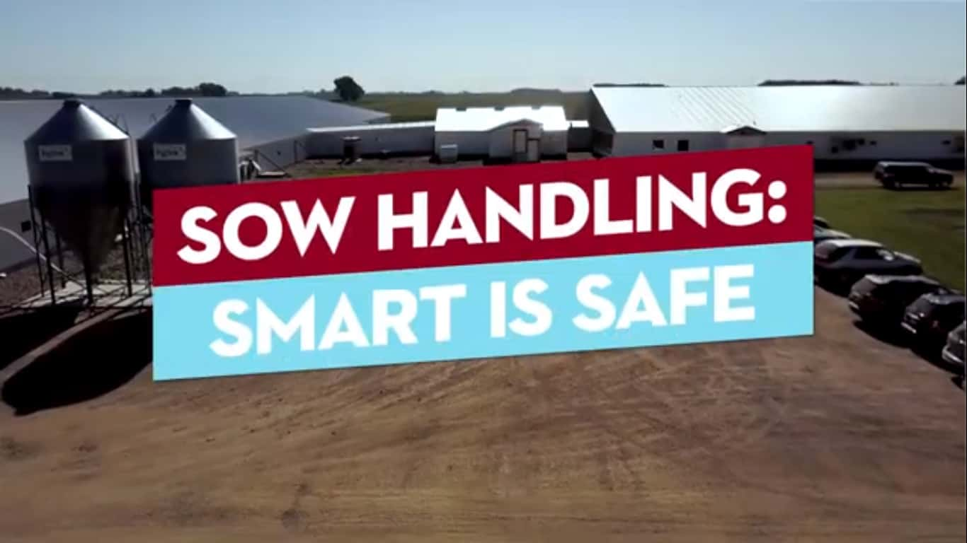 Moving Sows - Be Safe and Smart Image